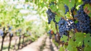 grapes at winery